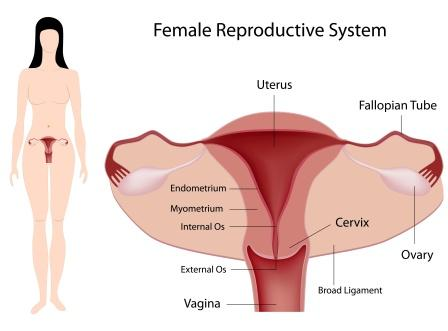 female reproductive system-21